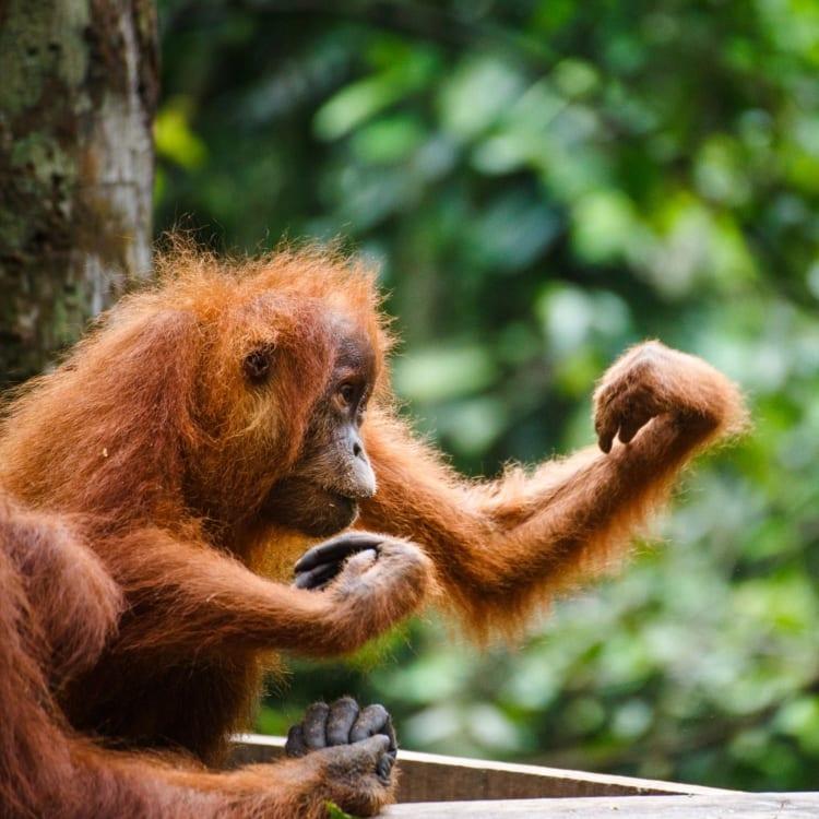 Orangutan at Indonesia wildlife centre